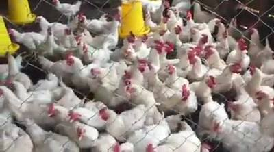 Ross c**k chickens parent stock imported into the country 6 months ago, ready for the breeding purposes. Dr DK is doing ...